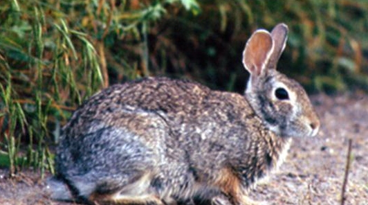 picture of cottontail rabbit