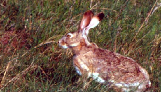 picture of jackrabbit